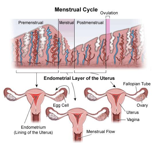 Mëso mbi ciklin mensrual